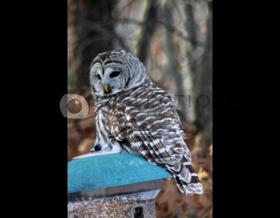 Baard Owl