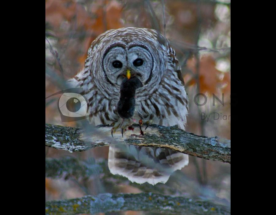 Barred Owl  Dinner
