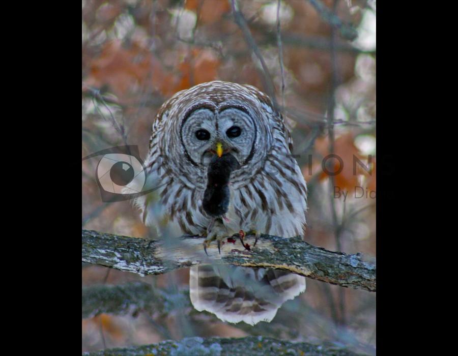 Barred Owl Dinner 2