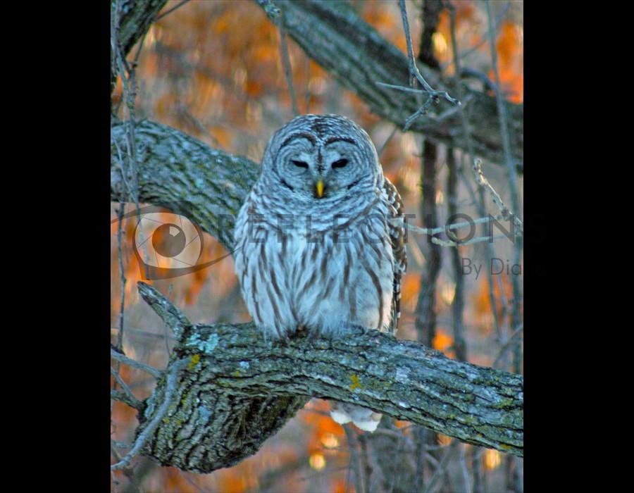 Barred Owl Resting dinner