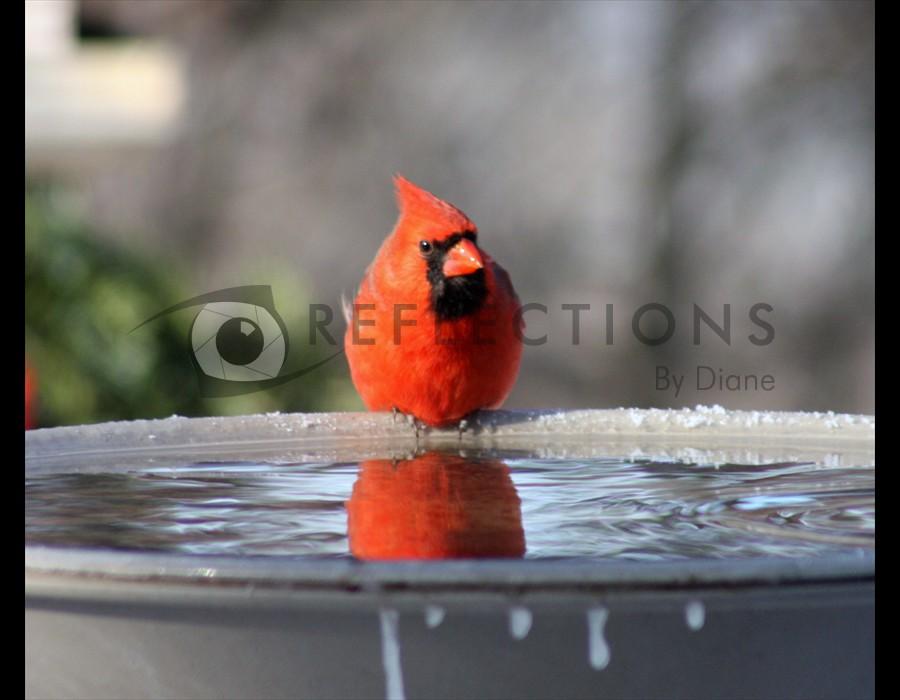 Cardinal at Birdbath