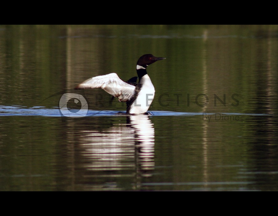 Loon Reflections Takeoff