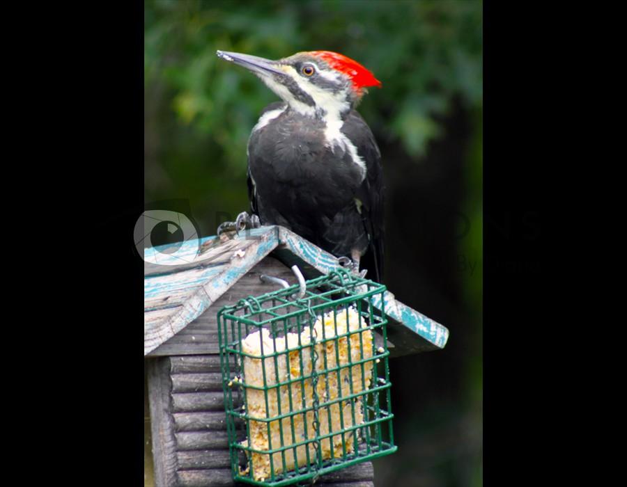 Pilliated Woodpecker 2