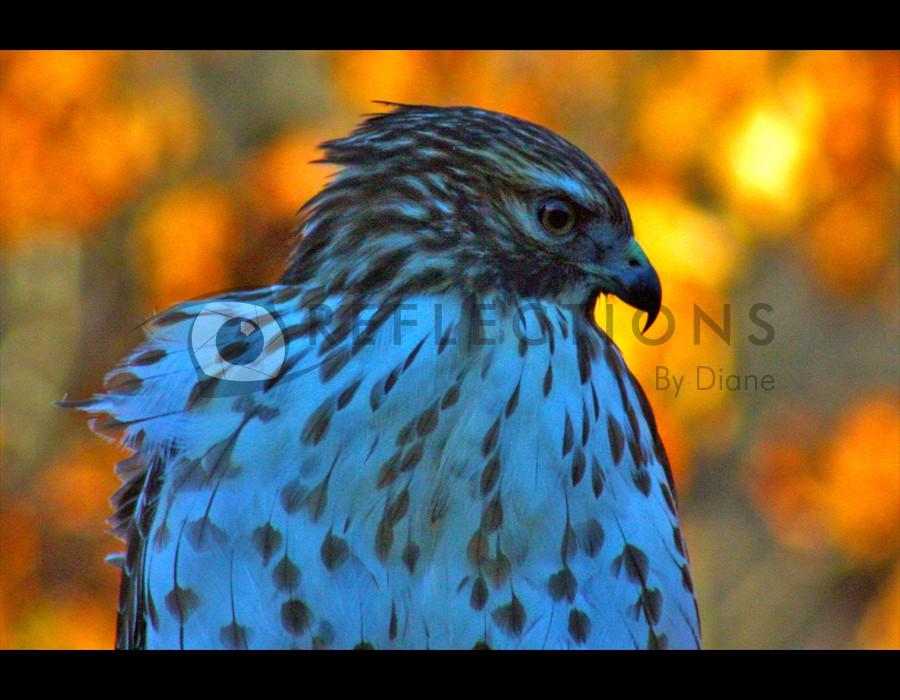RedTailed Hawk2