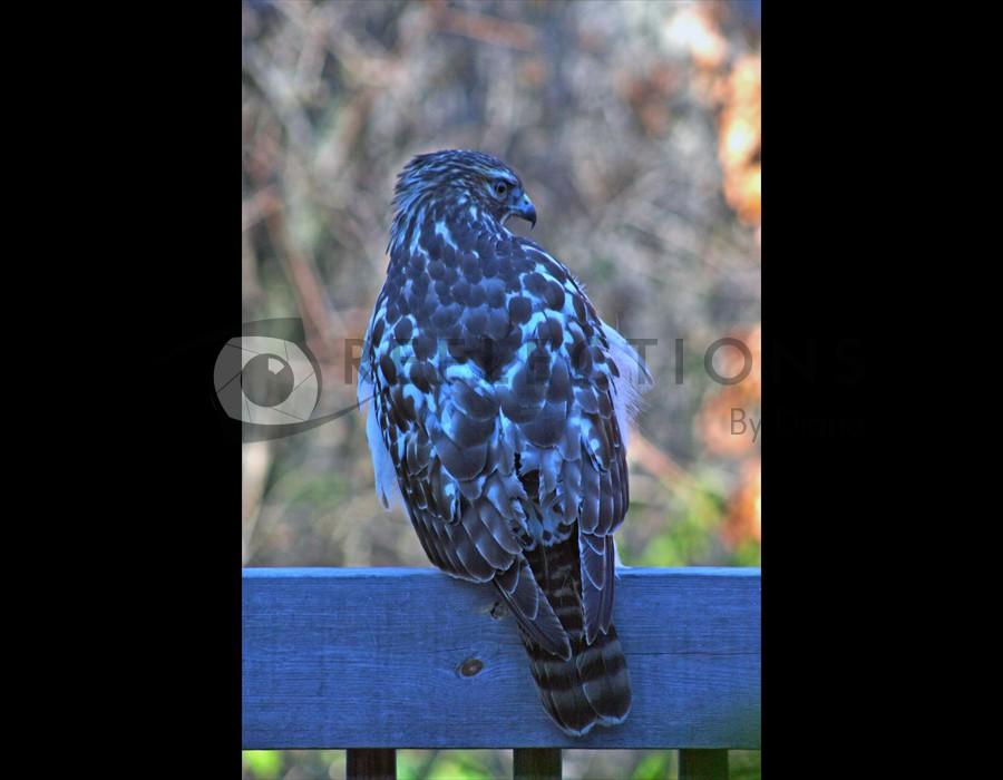 Redtailed Hawk 3