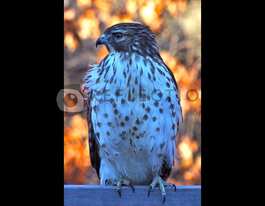 Retailed Hawk