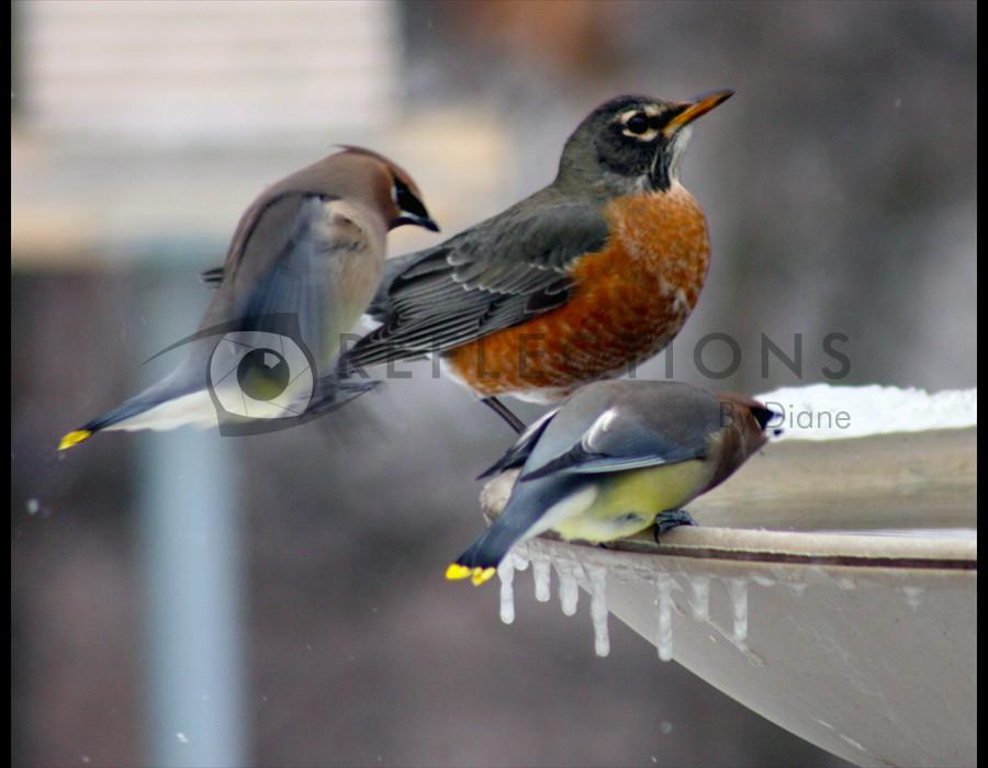 Robin and Cedar Waxwings