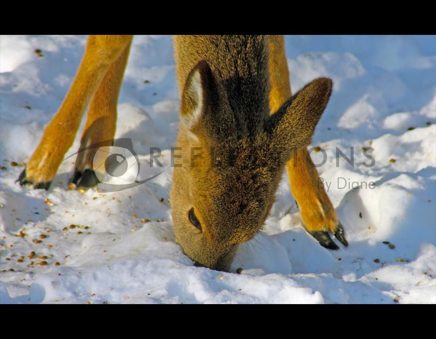 Whitetailed Deer 2
