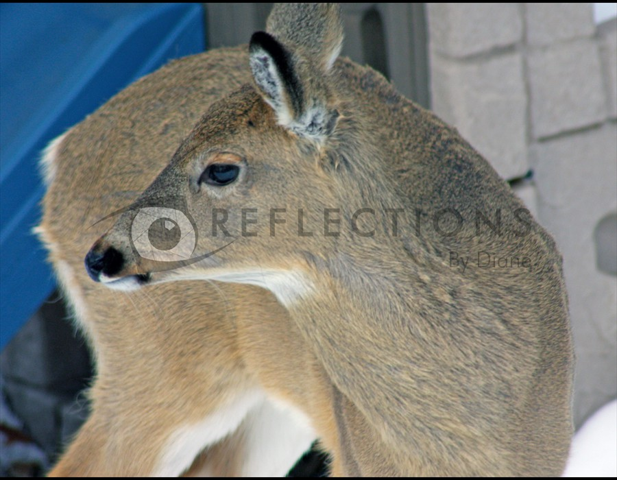 Whitetailed Deer 4