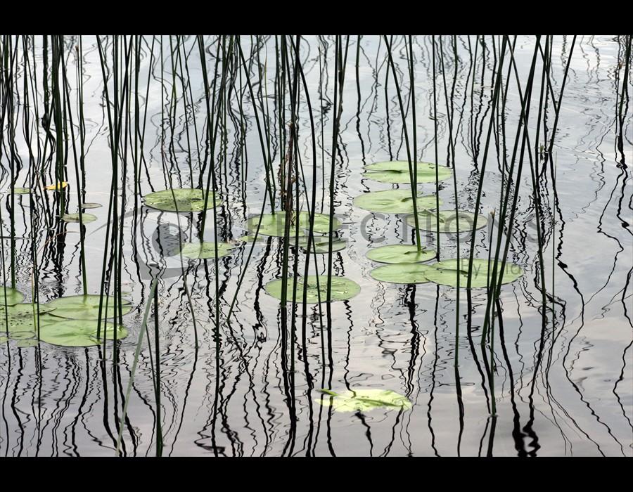 Reed Reflections at Antler Lake Big Fork,  MN
