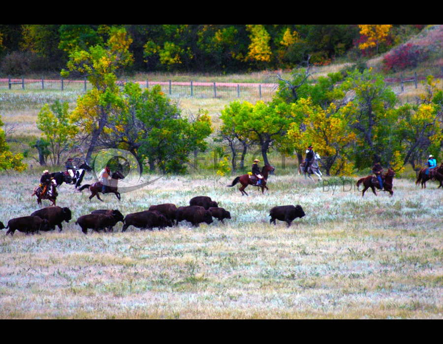 Buffalo Round Up Custer St. Park2