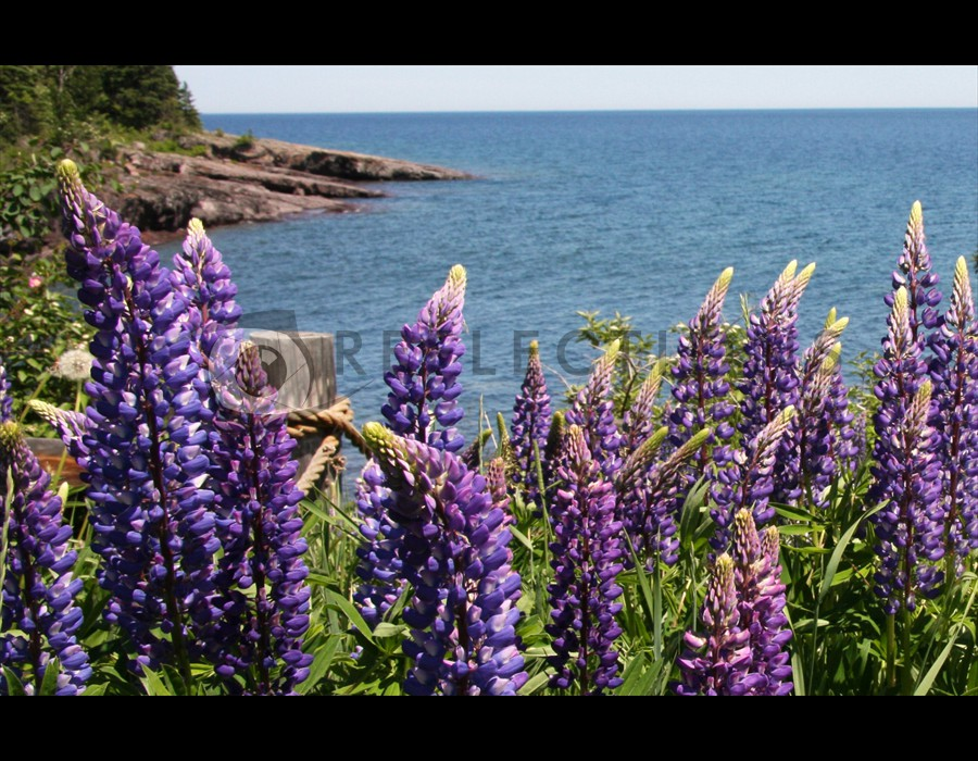 Minnesota Lupine on Lake Superior North Shore