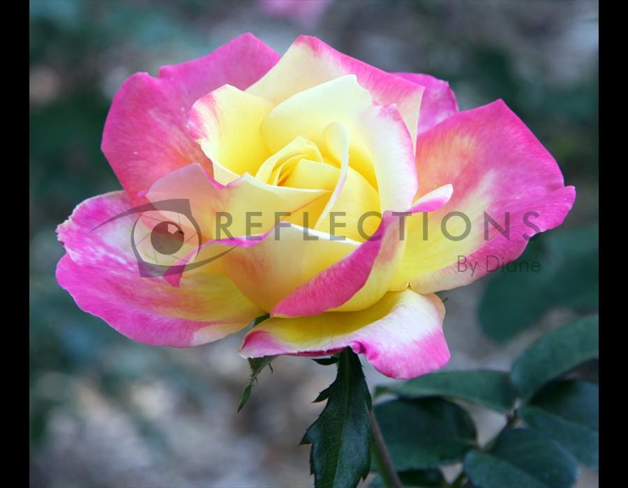 Pink/White Rose
